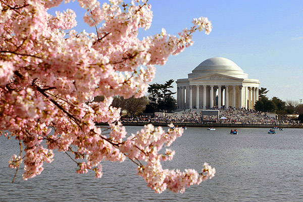 Pink cherry blossoms abound against a backdrop of the Jefferson Memorial