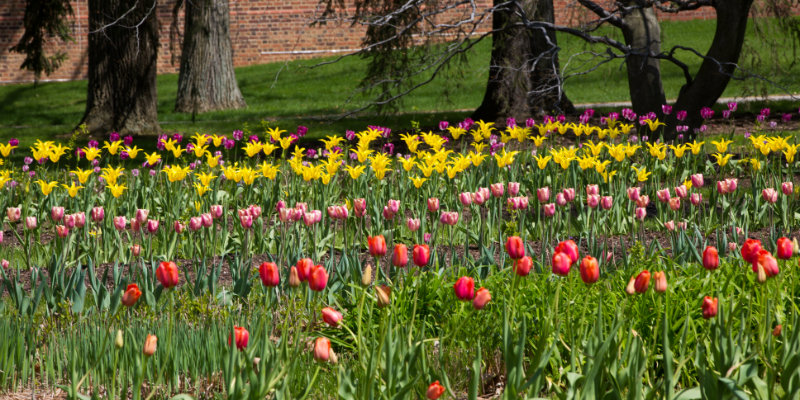 Colorful spring flowers on the grounds of Miami University