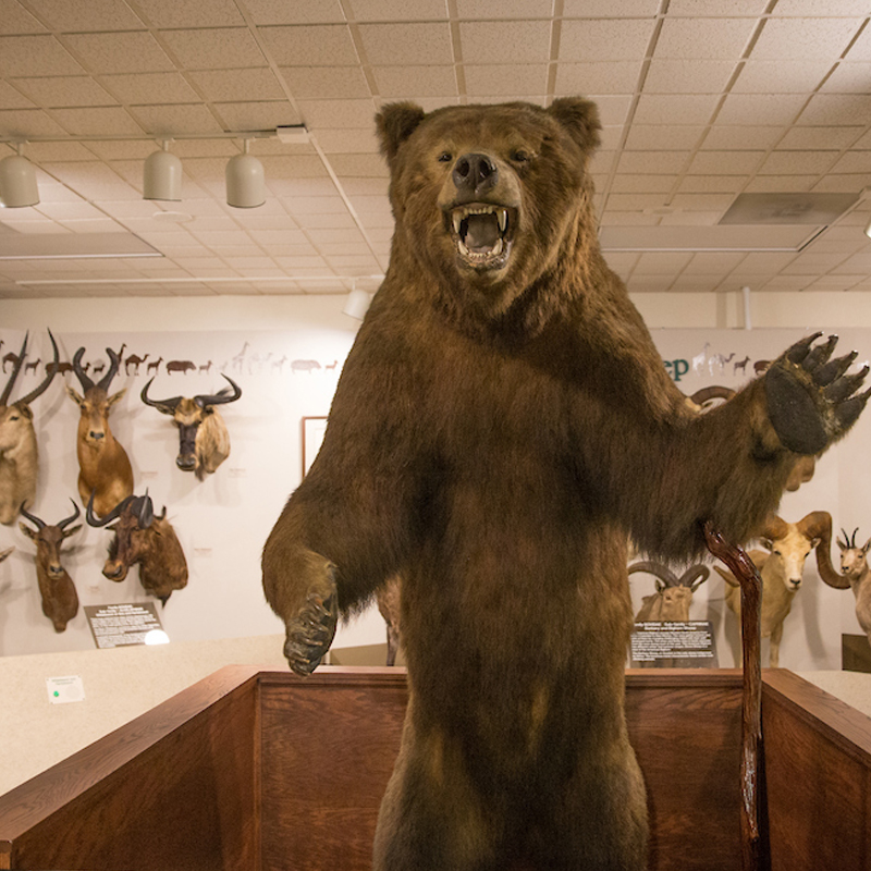 An exhibit of many types of animals in the museum, in the center of the exhibit, a roaring bear.