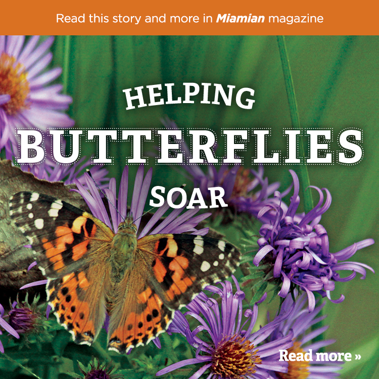 Helping butterflies soar. Read more » Read this story and more in Miamian magazine. Photo of an orange, black, and white butterfly on purple flowers.