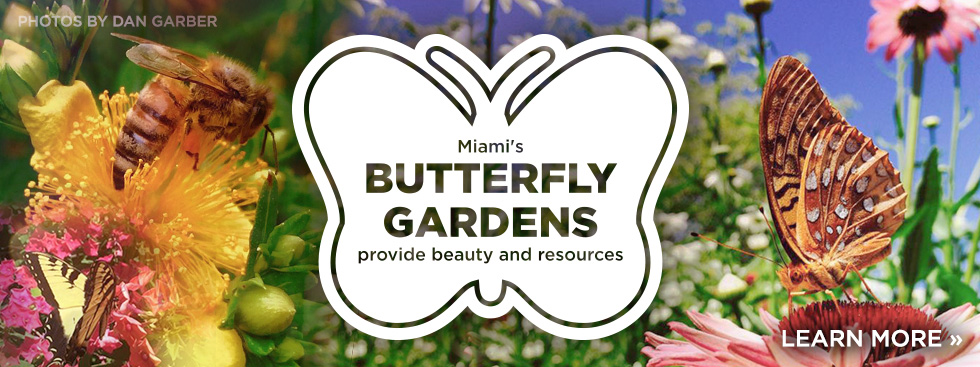 Miami's butterfly gardens provide beauty and resources. Learn more » Photos of butterflies and a bee on vibrantly colored flowers.