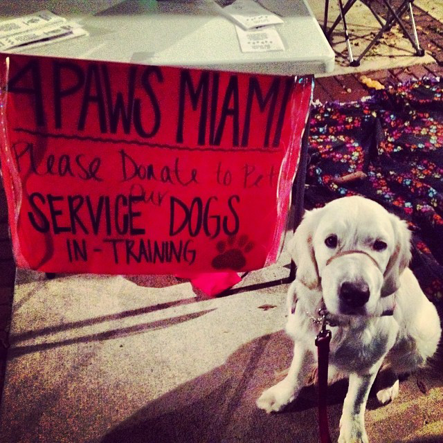 A service dog in 4 Paws for Ability