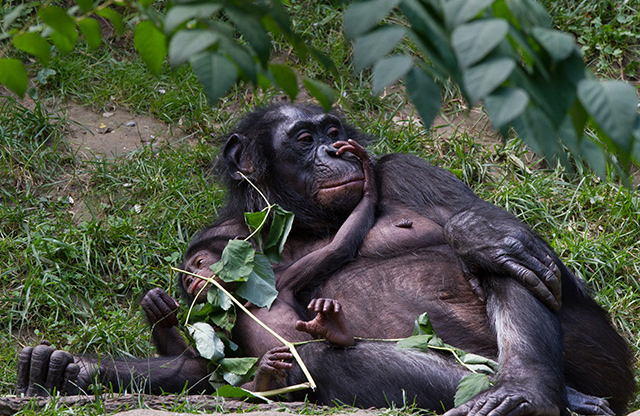 A mother bonobo with her baby bonobo