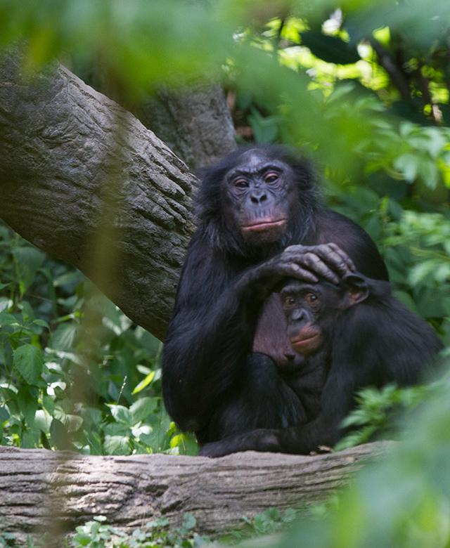 Mother bonobo grooms a baby bonobo