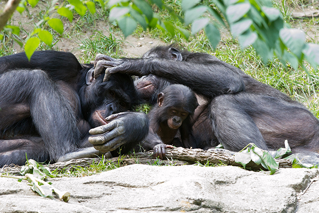 A mother, father, and baby bonobo all take a nap