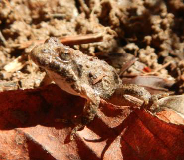 cricket-frog