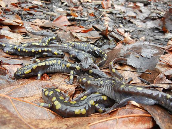 salamandars