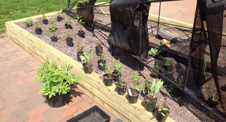 cornu-plants