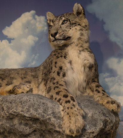 Snow Leopard Begins A New Legacy At Miami University
