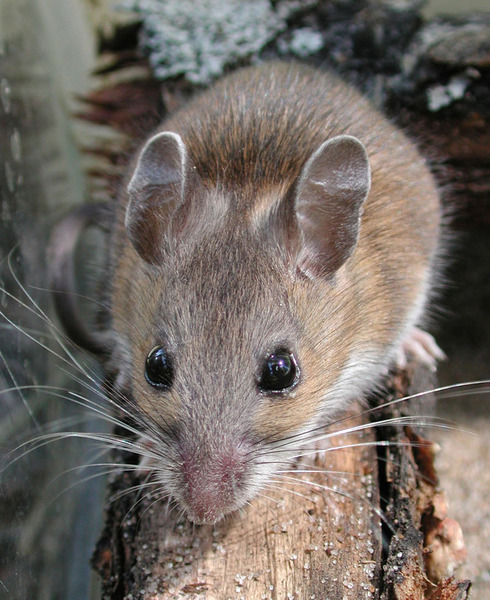 White-footed mouse.