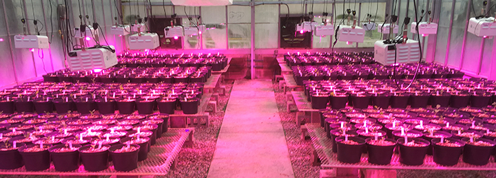 New LED lighting in the Belk greenhouse emits red and blue wavelengths, creating a pink glow (greenhouse photos by Rob Baker).