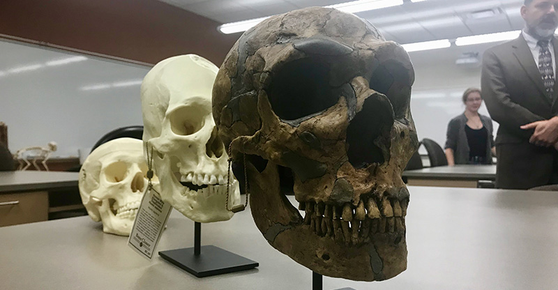 A set of recreated human skulls sits on display in Upham Hall's anthropology department.