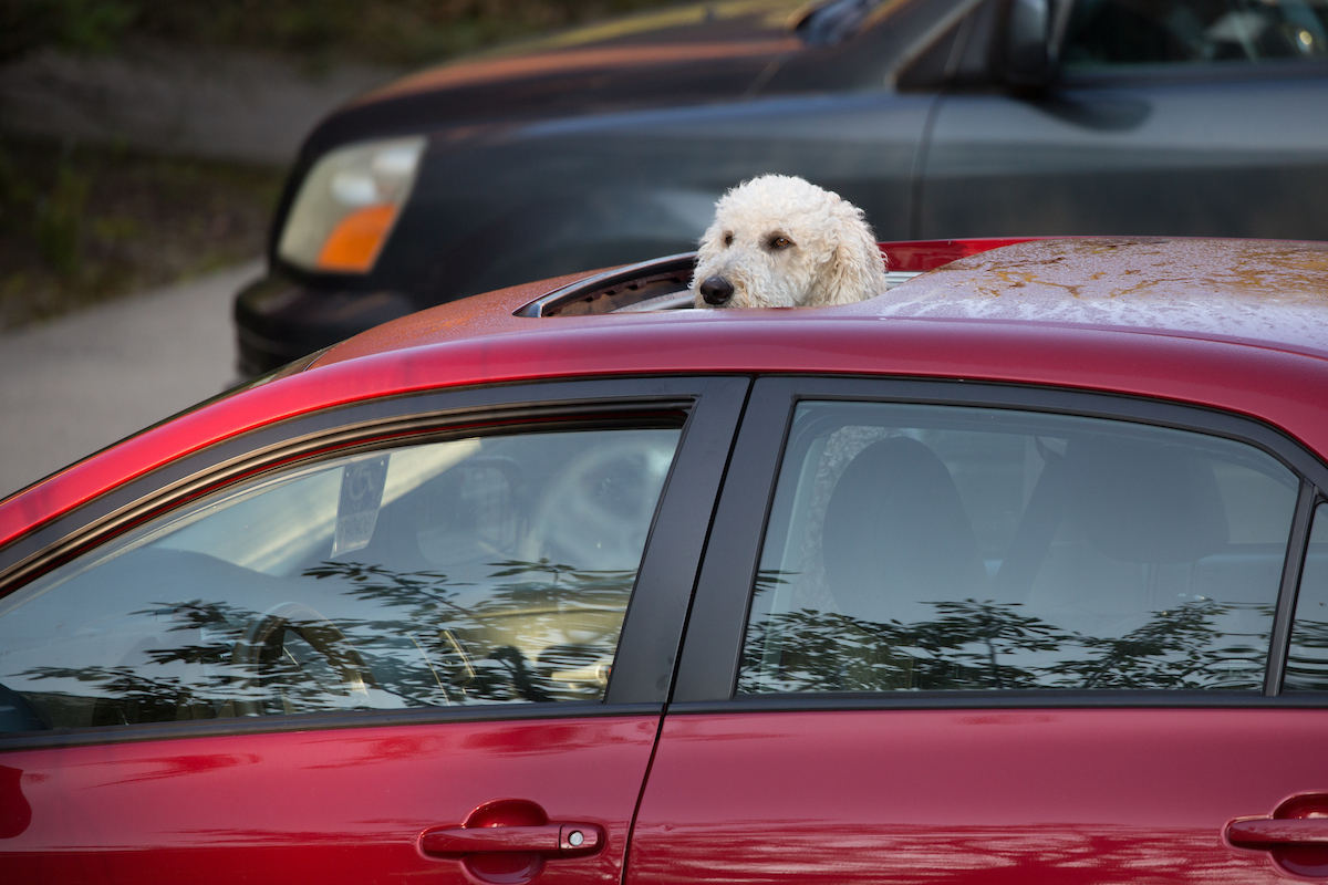 A puppy peeking it's head out of the sun roof of a car looks on at the commotion.