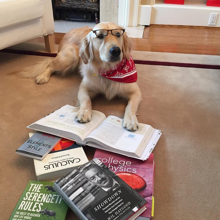 Ivy, a golden retriever, wears glasses and sits in a pile of books.