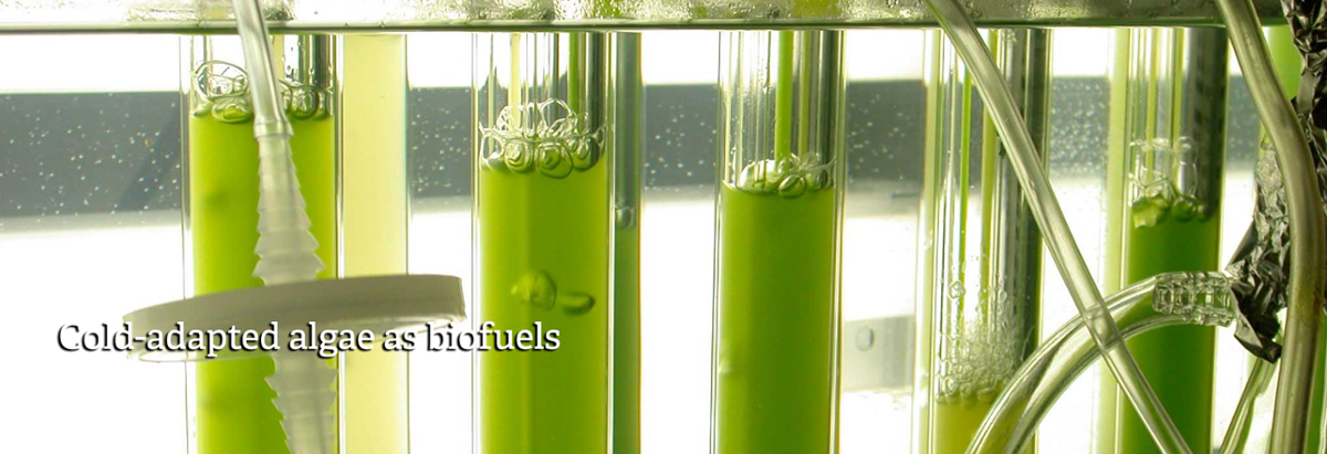 Cold-adapted algae as biofuels