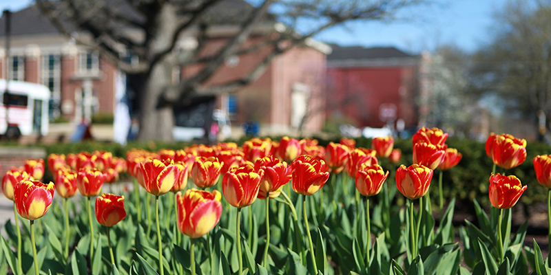A bed of red and yellow tulips near the Art Building