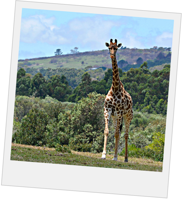 giraffe walking near wide open foothills in south africa