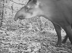A Brazilian tapir triggers one of the cameras in Guyana's Kanuku Mountains Protected Area.