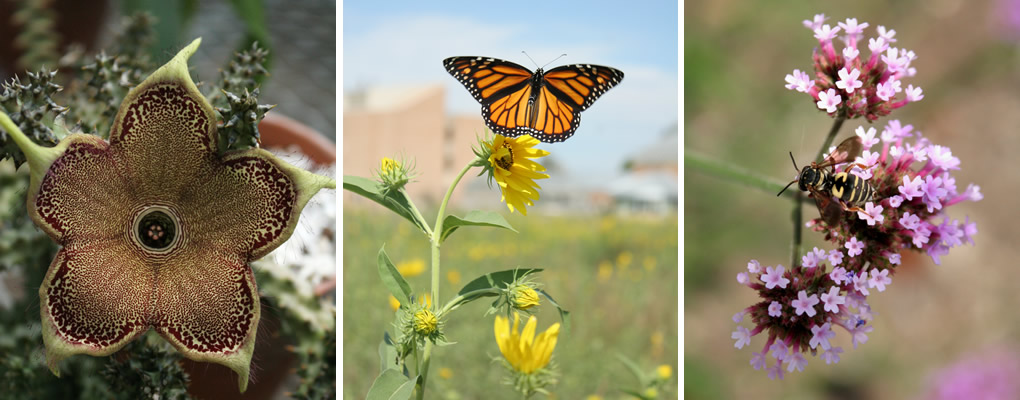 Three images of plantsinside or near The Conservatory: a cactus, yellow flower growing in prairie area with Monarch butterfly, and cluster of tiny pink flowers with bee.