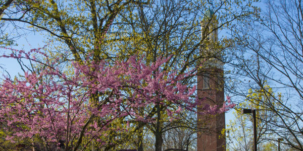 Oxford campus bell tower in spring, framed by pink Redbud blossoms.