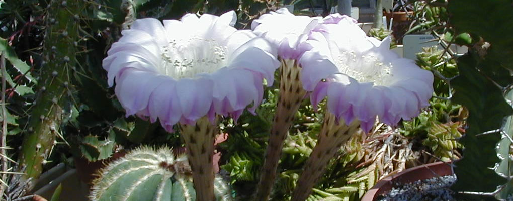 Close up of white and lilac blooming flowers atop Echinopsis oxygona in desert room in The Conservatory.