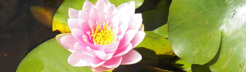 Pink Waterlily blossom in close-up.